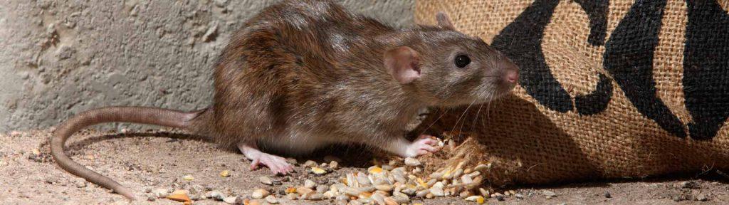 ban rodent control 1024x288 - Desratização em Jundiai