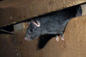 como pegar ratos em casa 3 300x201 - Desratização em Jundiai