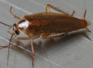 orkin roach closeup 480x286 e1500669080870 1 300x221 - Dedetização em Jundiaí