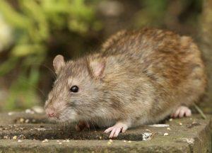 rat 1024x736 300x216 - Desratização em Jundiai