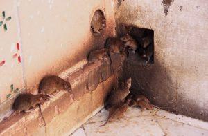 rat group 1024x672 300x197 - Dedetizadora de Rato em Jundiaí