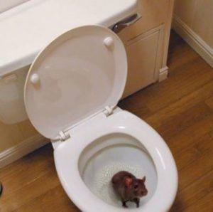 rato vaso 300x298 - Dedetizadora de Rato em Jundiaí